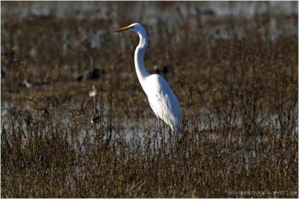 Great Egret in the Marsh - II