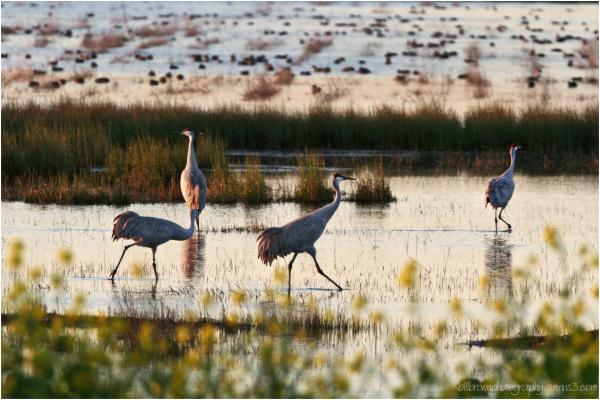 Sandhill Cranes @ Sunrise