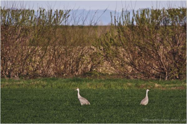 Sandhill Cranes in the Meadow