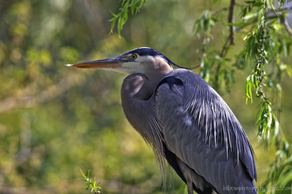 Great Blue Heron 040212