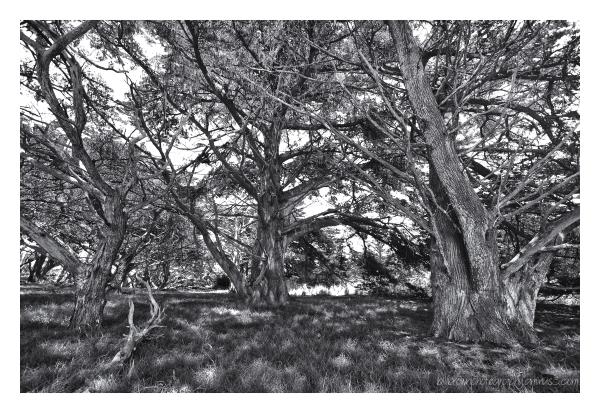 Cypress Grove   Pt. Lobos
