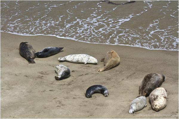 Harbor Seals   Point Lobos
