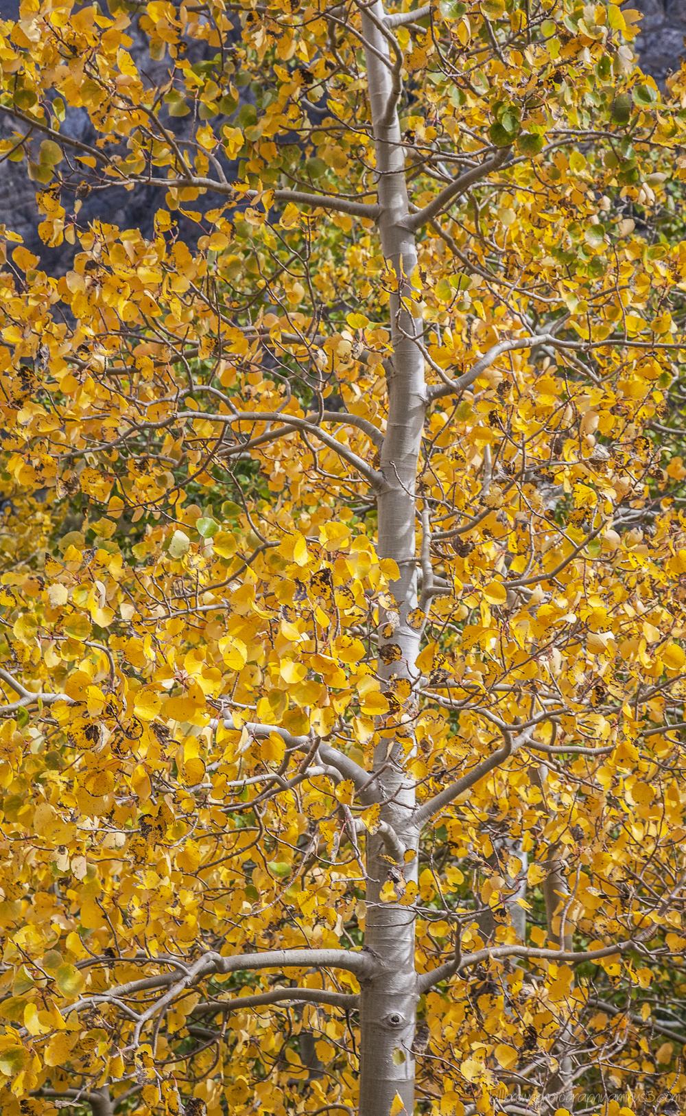Fall Color Eastern Sierra - 3 of 3
