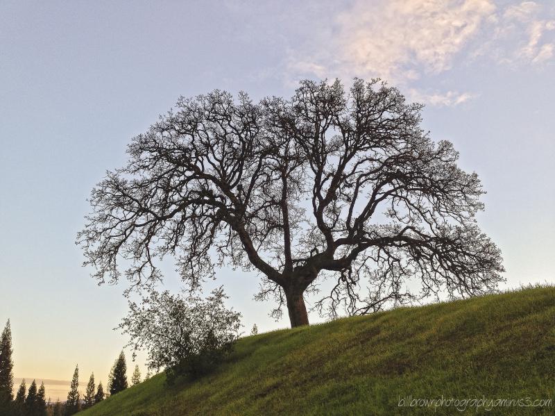 Hilllside Oak