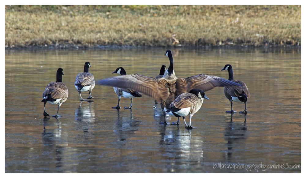 Canadian Geese Hangout III