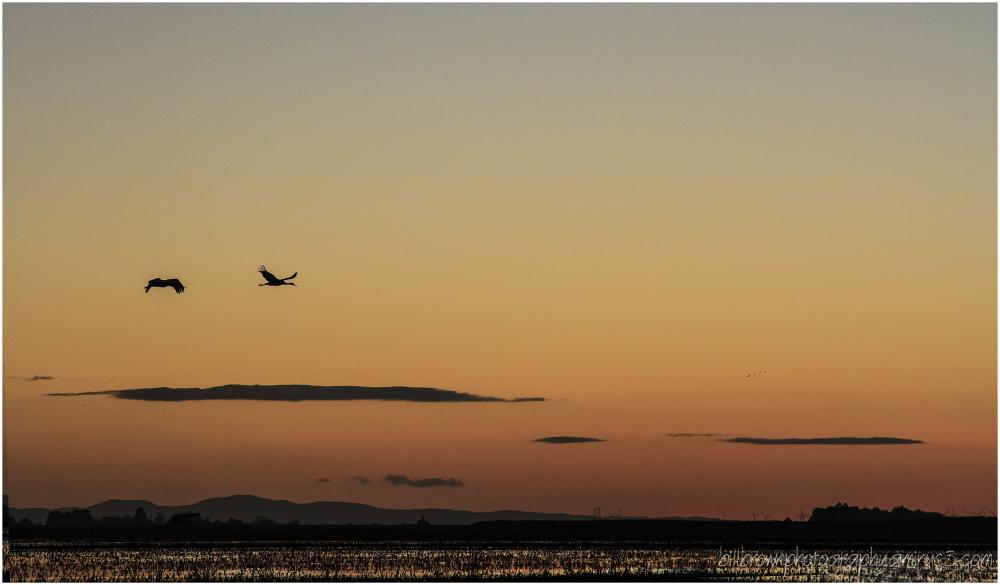 Sandhill Crane Fly-in (2 of 2)