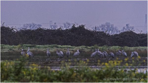 Sandhill Crane Dawn Patrol