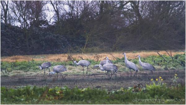 Sandhill Crane Dawn Patrol - II