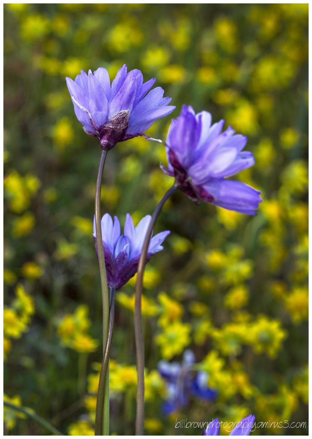 Table Mountain Wildflowers - 004