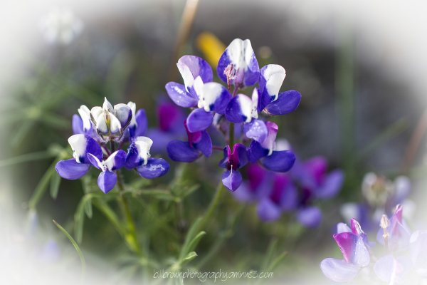 Table Mountain Wildflowers - 011