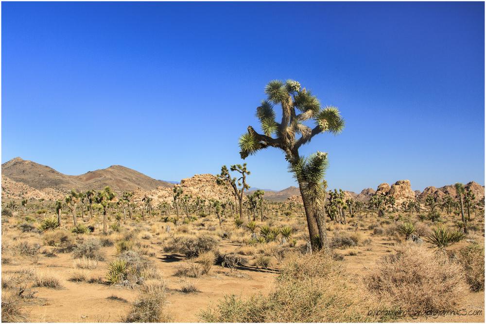 Joshua Tree, Image #2