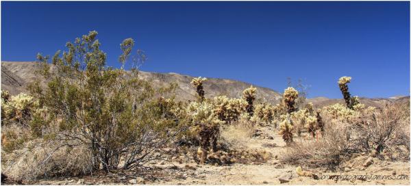 Cholla Cactus Garden #1
