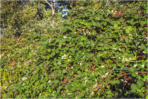 Wild Blackberry Vines 1 of 2