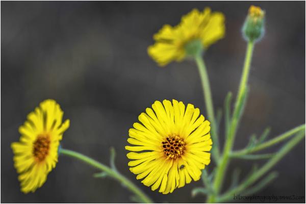 Yellow wildflowers 071213