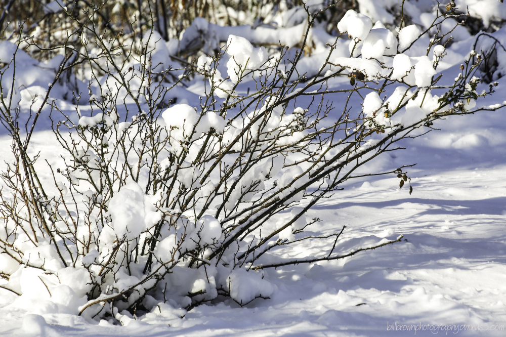 Snow Covered Rose Bush