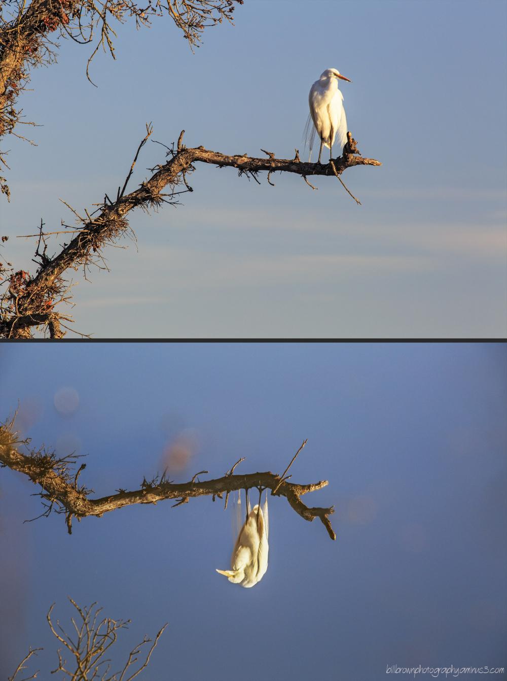 White Egret - Reflected