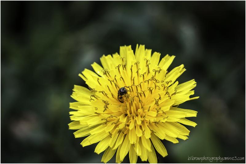 Dandy Blossom