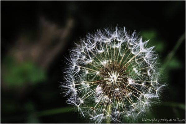 Dandelion Phase Two