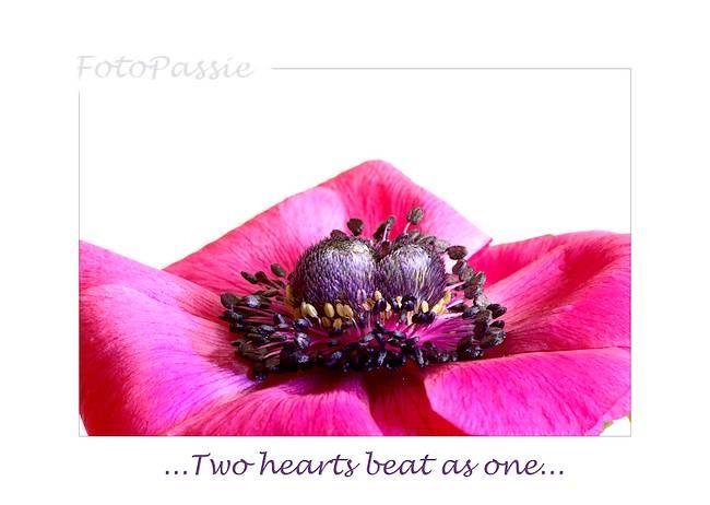 rose Anemoon, pink Anemone,