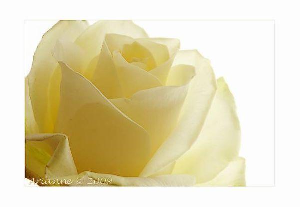 Roos ~ Rose