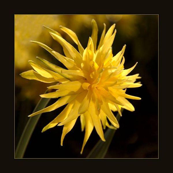 Narcis, Daffodil