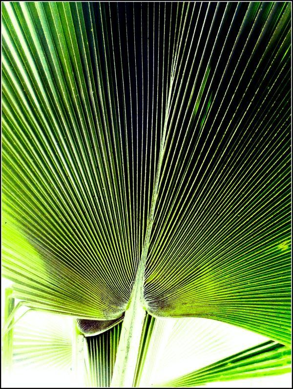 Large Palm leaf