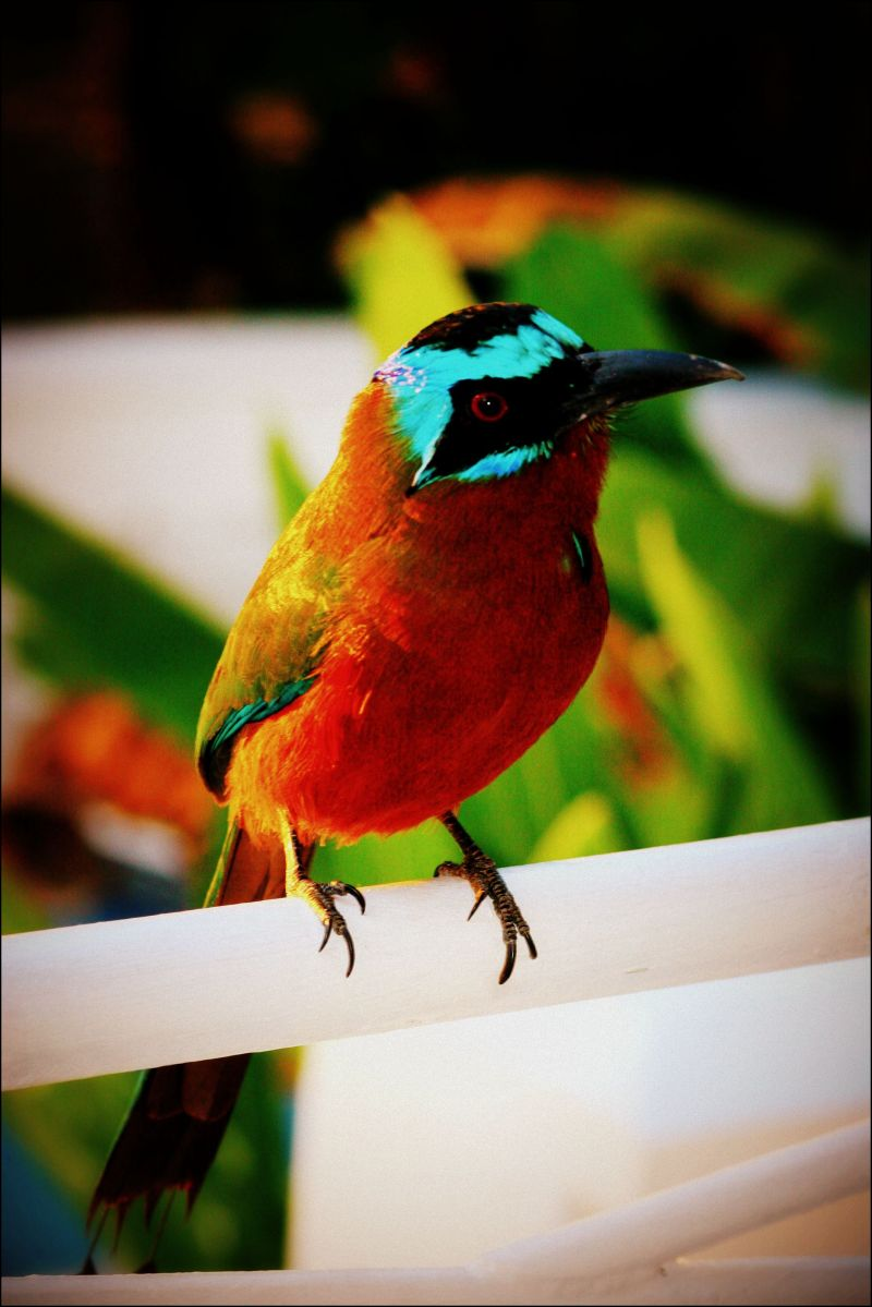 Mot Mot bird