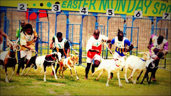 goat race, tobago