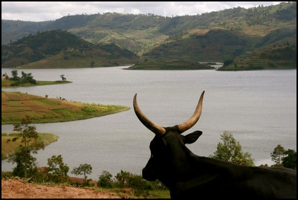 Cow and view in Uganda