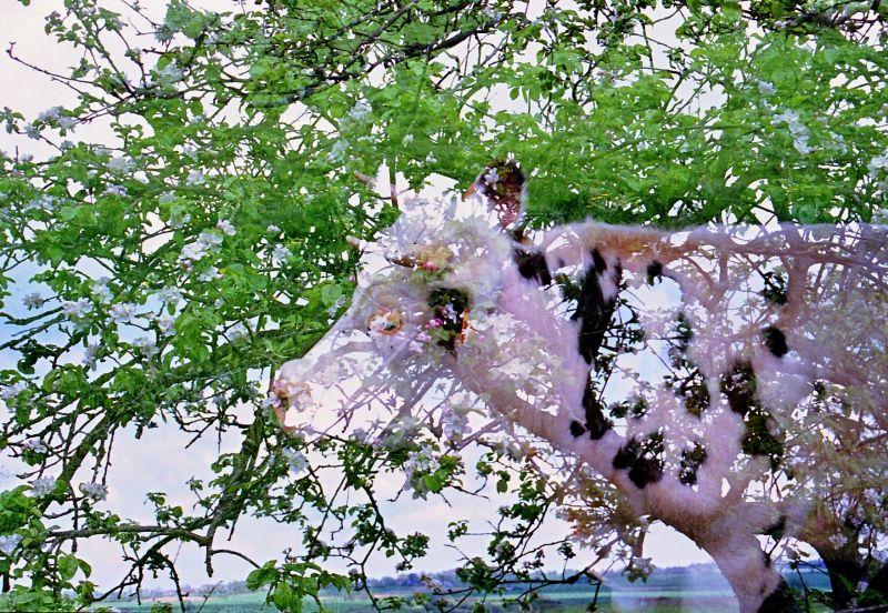 vache dans un pommier