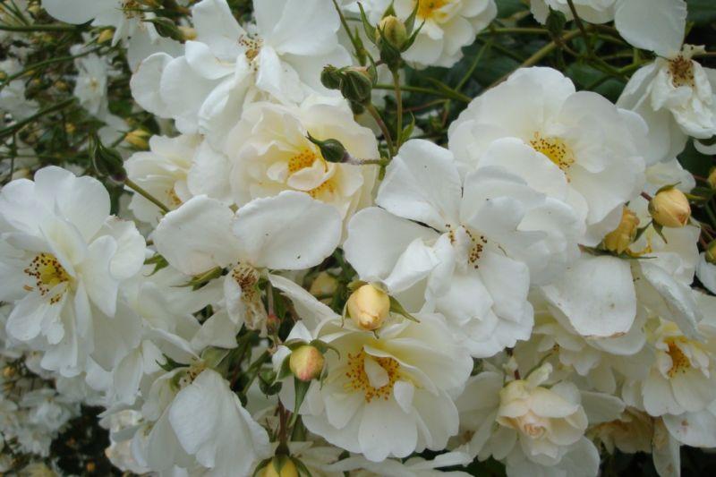 """Roses """"neige d'été"""""""