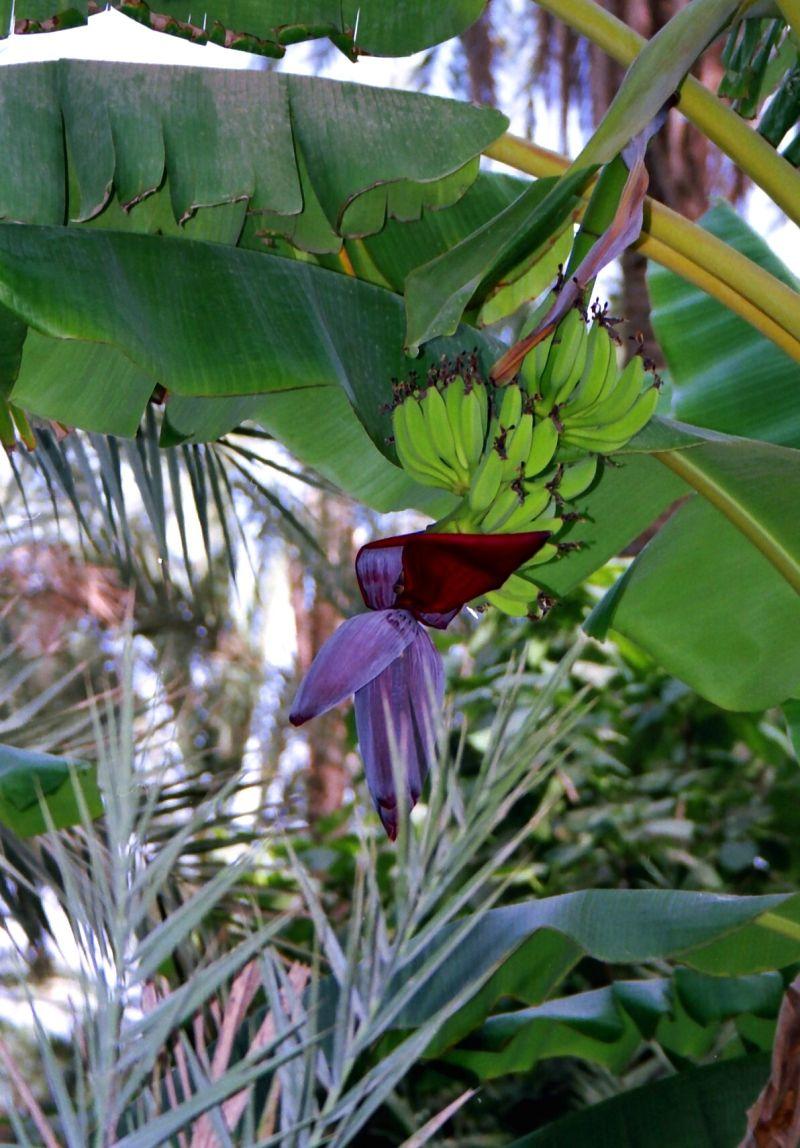 Fleur de bananier dans la palmeraie de Tozeur