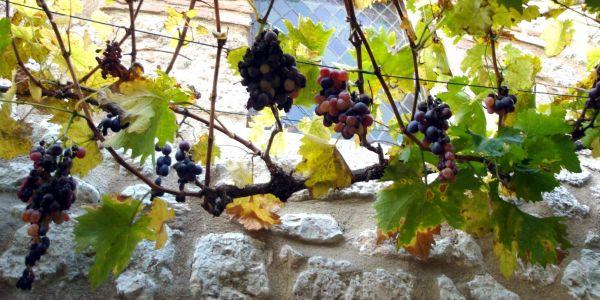 Les vrilles de la vigne (Colette)