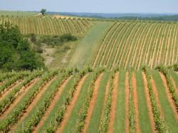 Vagues de vignes