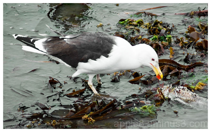 Herring Gull - Picking up the scraps