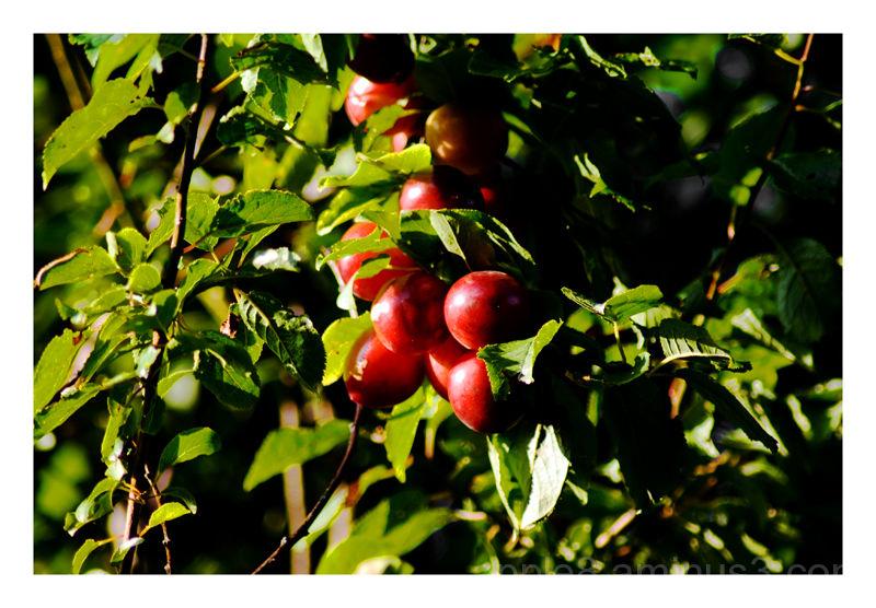 ripening plums