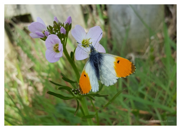 Orange tip butterfly visiting Cuckooflower
