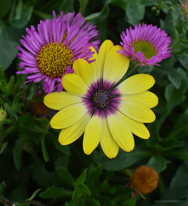 Osteospermum and friends