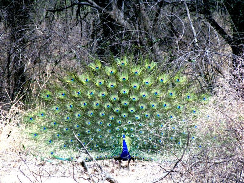 Ranthambore Peacock Dance
