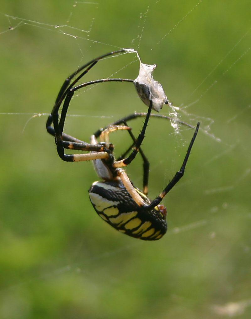 Garden Spider, spider