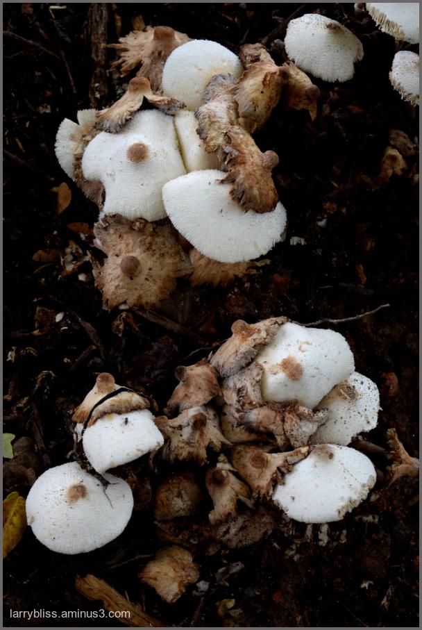 Mushrooms in the Mulch
