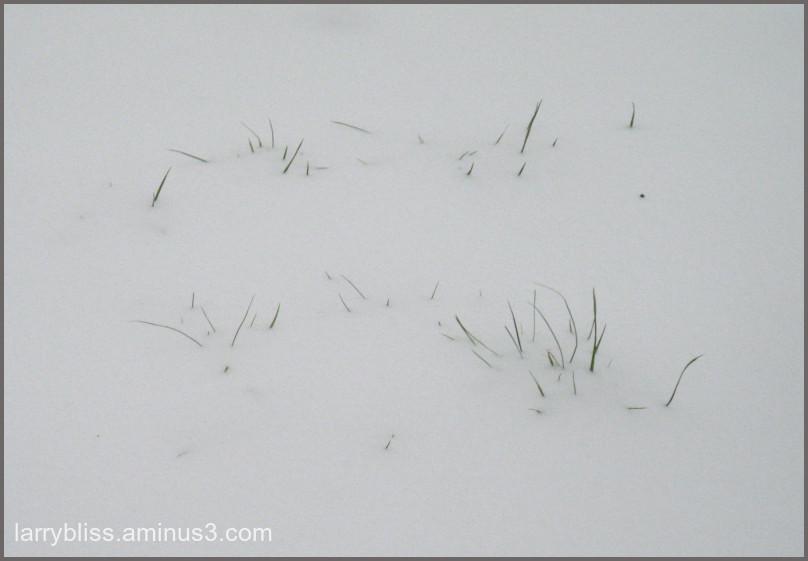 Grass Through Snow