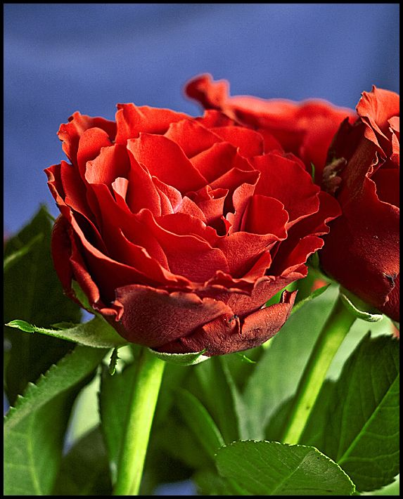 Closeup picture of a red rose