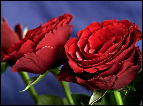 Closeup of some red roses