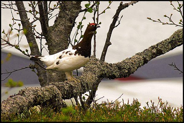 A grouse on a branch in Tromsø