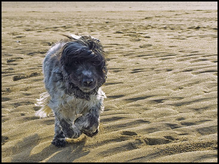A cocker spaniel running at a beach