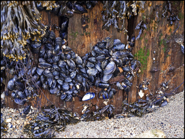 Mussels at a beach in northern Norway