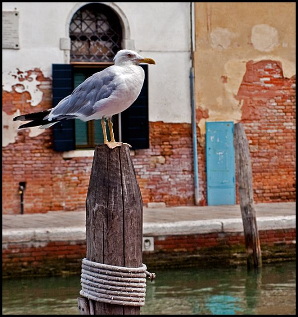 A seagull on Murano