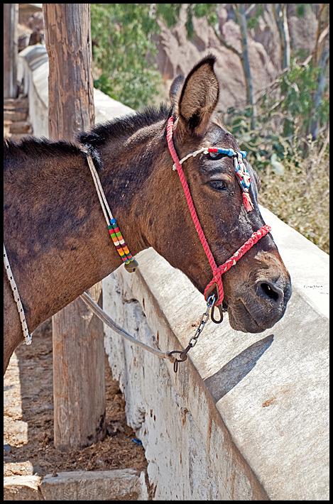 A donkey on Santorini