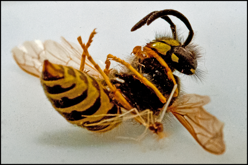 A dead wasp